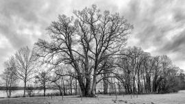 Methusalenbaum